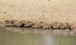 Mongoose, Banded - African Band of Brothers 2 Royalty Free Stock Photography