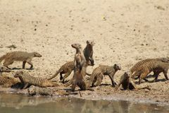 Mongoose, Banded - African Band of Brothers. A Banded Mongoose clan drinking water.  Photo taken on a game ranch in Namibia, Africa Royalty Free Stock Photos