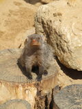 Mongoose basking in the summer sun in a zoo in Erfurt. The animal of & x22;The Jungle Book& x22; R. Kipling. Mongoose basking in the summer sun in a zoo in Stock Photography