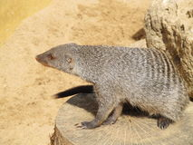 Mongoose basking in the summer sun in a zoo in Erfurt. The animal of & x22;The Jungle Book& x22; R. Kipling. Mongoose basking in the summer sun in a zoo in Royalty Free Stock Photo