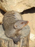 Mongoose basking in the summer sun in a zoo in Erfurt. The animal of & x22;The Jungle Book& x22; R. Kipling. Mongoose basking in the summer sun in a zoo in Royalty Free Stock Image