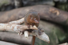 Mongoose on branch Stock Images