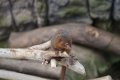 Mongoose on branch Royalty Free Stock Photo