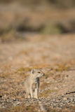Mongoose by burrow. A weary Yellow Mongoose watches nervously from it's burrow for any empeeding danger Stock Images