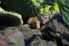 Mongoose in a cactus bed Royalty Free Stock Photos