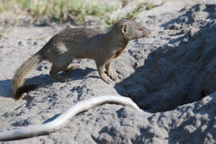 Mongoose with catched snake Stock Image