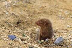 Mongoose at Chester Zoo. A Mongoose Explores his environment at Chester Zoo Stock Images
