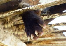 Mongoose close-up foot Royalty Free Stock Image