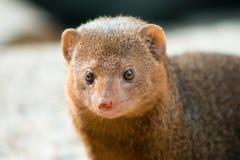 Mongoose comum do anão Fotos de Stock Royalty Free