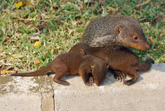 Mongoose with cubs, Uganda. Mongoose with young one, Queen Elizabeth National Park, Uganda Stock Image
