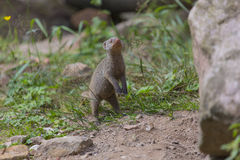 Mongoose. A cute mongoose baby looking out Stock Photography