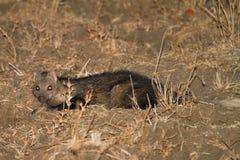 Mongoose da água Fotos de Stock