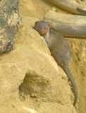 Mongoose do anão Imagem de Stock Royalty Free