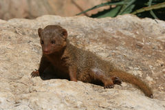Mongoose do anão Fotografia de Stock