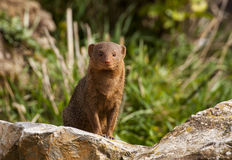 Mongoose do anão Fotos de Stock