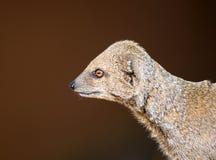 Mongoose do anão fotografia de stock