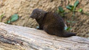 Mongoose do anão Imagens de Stock