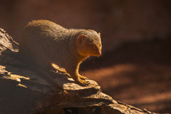 Mongoose do anão Foto de Stock Royalty Free