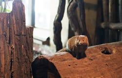 Mongoose do anão Imagens de Stock Royalty Free