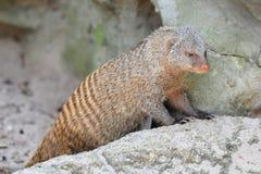 Mongoose em seu habitat fotografia de stock