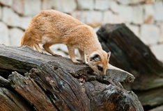 Mongoose on a fallen tree Royalty Free Stock Photography