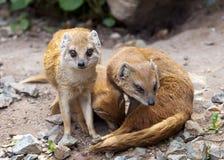 Mongoose Stock Photography