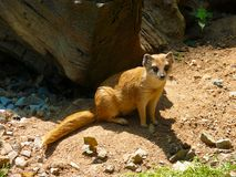 Mongoose fox Cynictis penicillata Royalty Free Stock Photos