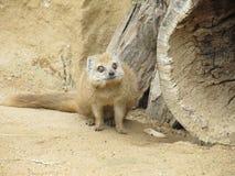 Mongoose fox Royalty Free Stock Photo