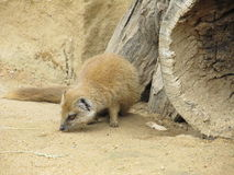 Mongoose fox Royalty Free Stock Image