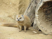 Mongoose fox Royalty Free Stock Photos