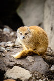 Mongoose fox Stock Image