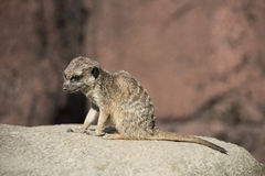 Mongoose in Gaiapark Stock Photography