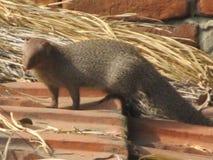 A mongoose Royalty Free Stock Photos