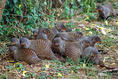 Mongoose group  lying together with cubs, Uganda Stock Photo