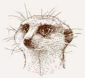 Mongoose head Royalty Free Stock Images