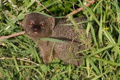 Mongoose, Hermanus. Stunning eyes from the hedgerow in Hermanus Royalty Free Stock Image