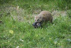 Mongoose Herpestidae eating prey Stock Photo