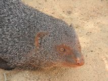 Mongoose, on the island of Sri Lanka. Close-up portrait of a mongoose stock photography