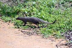 Mongoose. In the jungles of Sri Lanka Stock Image