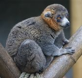 Mongoose lemur 1 Stock Images