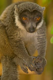 Mongoose Lemur. Wild Mongoose Lemur in Madagascar Royalty Free Stock Image