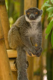 Mongoose Lemur. Wild Mongoose Lemur in Madagascar Royalty Free Stock Photo