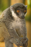 Mongoose Lemur. Wild Mongoose Lemur in Madagascar Stock Image