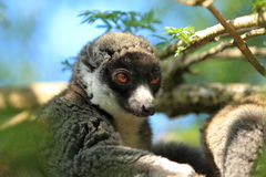 Mongoose lemur. The detail of mongoose lemur Stock Images