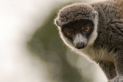 Mongoose lemur & x28;Eulemur mongoz& x29; head on. Female arboreal primate in the Lemuridae family, native to Madagascar and the Comoros Islands Royalty Free Stock Photos