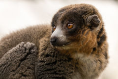 Mongoose lemur & x28;Eulemur mongoz& x29; showing canines. Male arboreal primate in the Lemuridae family, native to Madagascar and the Comoros Islands Stock Photos