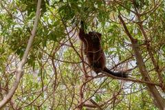 Mongoose lemur looking at the camera long shot. While grabbing food Royalty Free Stock Photography