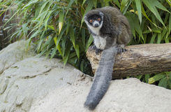 Mongoose lemur. A nice lemur watching the camera Royalty Free Stock Images