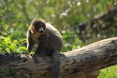 Mongoose lemur. The mongoose lemur on the trunk Stock Photography