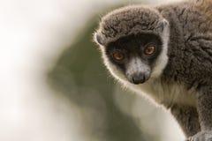 Mongoose lemur & x28;Eulemur mongoz& x29; head on Royalty Free Stock Photos